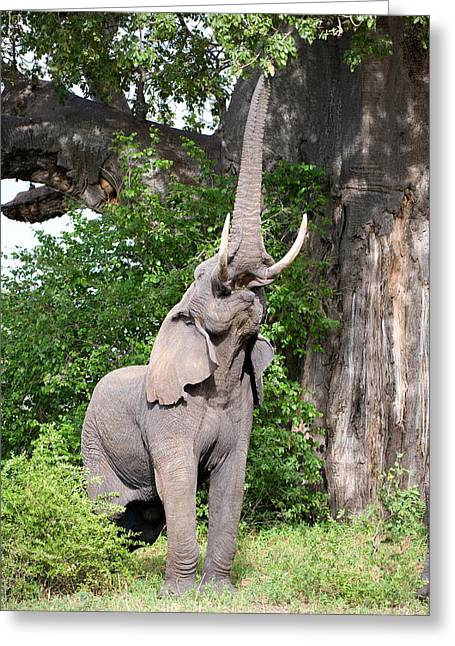 Color Stretching Greeting Cards - African Elephant Loxodonta Africana Greeting Card by Panoramic Images