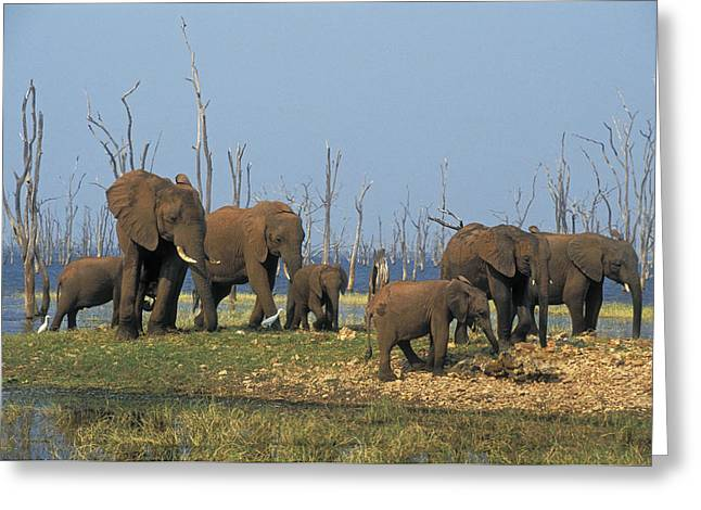 Full Body Greeting Cards - African Elephants, Lake Kariba Greeting Card by Thomas Kitchin & Victoria Hurst
