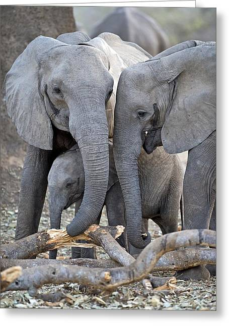 Trio Greeting Cards - African elephants Greeting Card by Science Photo Library