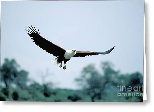 Flying Animal Greeting Cards - African Fish Eagle Greeting Card by Mark Newman