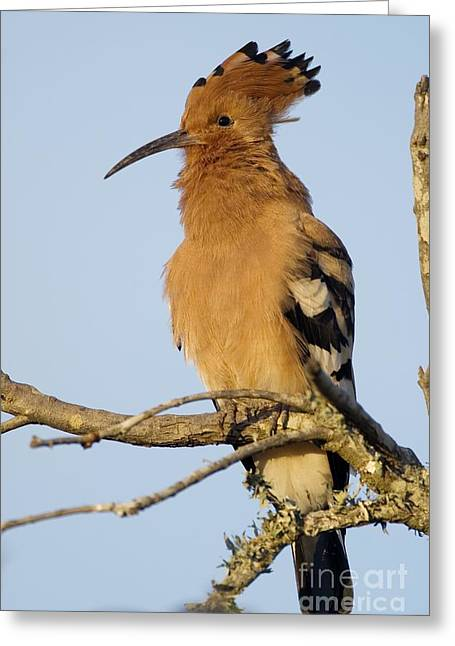 Addo Greeting Cards - African Hoopoe Greeting Card by Peter Chadwick