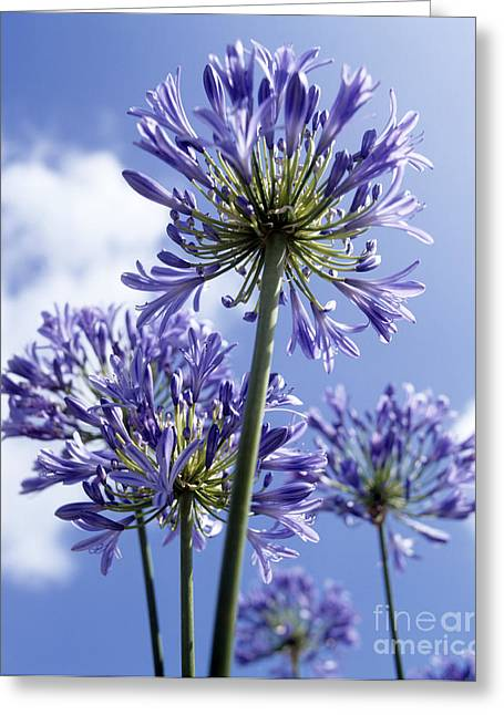 African Lily Greeting Cards - African Lilies Agapanthus Sp Greeting Card by Gavin Kingcome