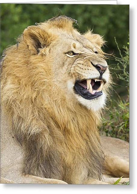Addo Greeting Cards - African lion Greeting Card by Science Photo Library