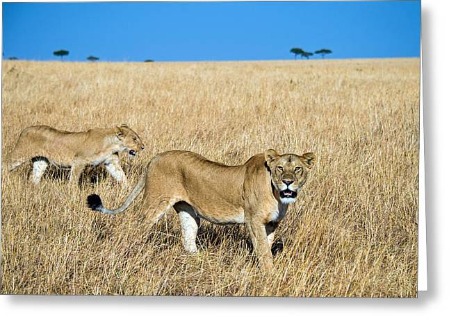 African Lioness Panthera Leo, Serengeti Greeting Card by Panoramic Images