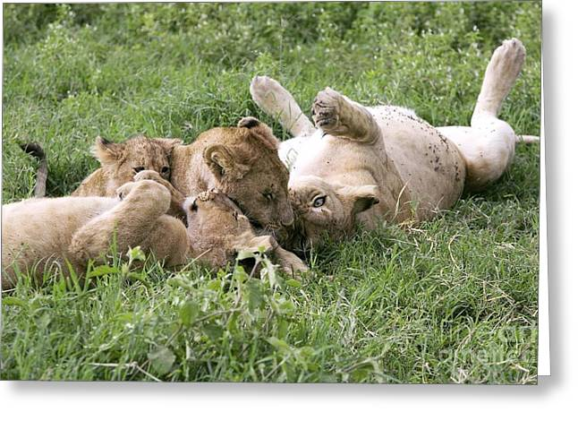 Nca Greeting Cards - African Lions Greeting Card by PhotoStock-Israel