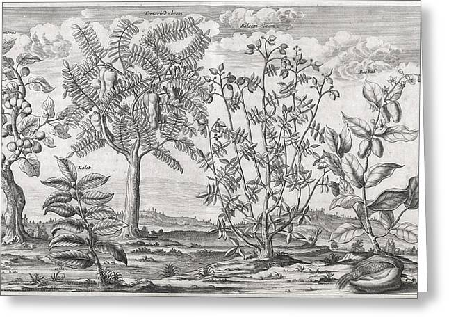 Nature Of Being Greeting Cards - African plants, 17th century Greeting Card by Science Photo Library