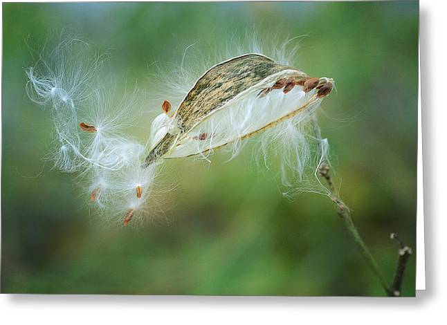 Milkweed Greeting Cards - Against The Wind 2 Greeting Card by Fraida Gutovich