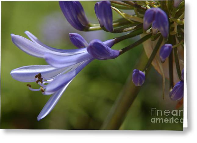 African Lily Greeting Cards - Agapanthus Lily in Pacific Beach Greeting Card by Anna Lisa Yoder