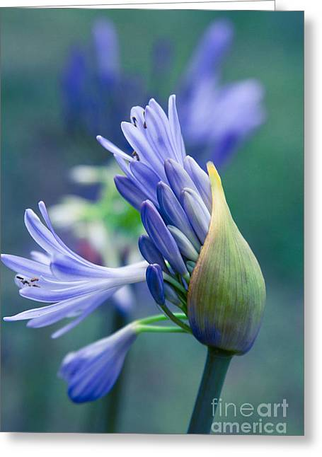 Bract Greeting Cards - Agapanthus orientalis - Lily Of The Nile Greeting Card by Sharon Mau