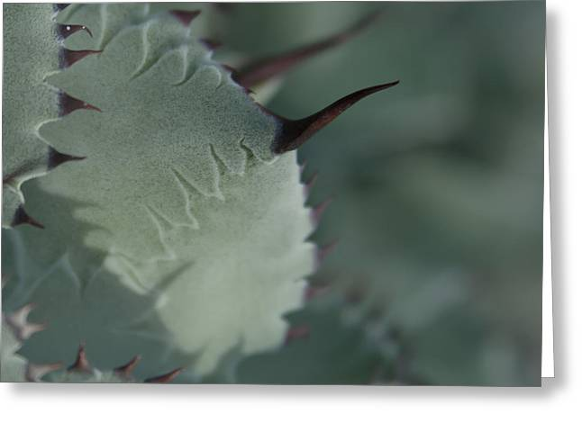 Rosette Greeting Cards - Agave parryi truncata - Artichoke Agave - Cactus and Succulents  Maui Hawaii Greeting Card by Sharon Mau