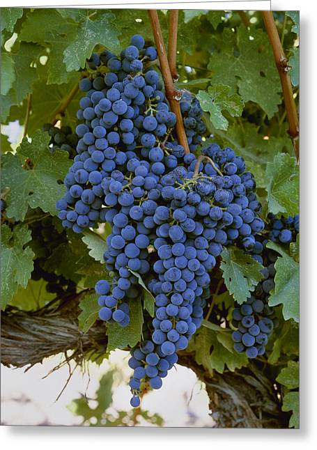 Cabernet Sauvignon Greeting Cards - Agriculture - Closeup Of Clusters Greeting Card by Charles Blakeslee