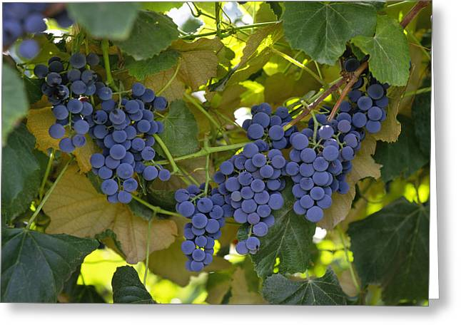 Concord Greeting Cards - Agriculture - Concord Tablejuice Grapes Greeting Card by Gary Holscher