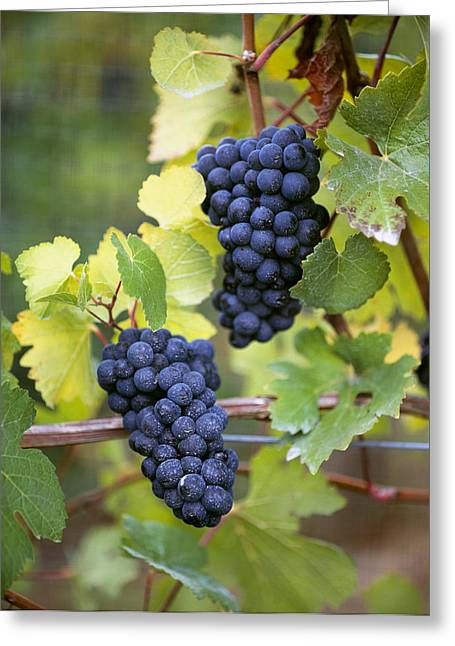 Pinot Noir Greeting Cards - Agriculture - Mature Clusters Of Pinot Greeting Card by Charles Blakeslee