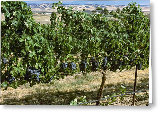 Ripening Fruit Greeting Cards - Agriculture - Vineyard Of Mature Greeting Card by Charles Blakeslee