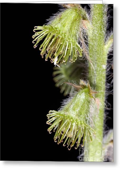 Animal Dispersal Greeting Cards - Agrimony Burrs Agrimonia Eupatoria Greeting Card by Dr Keith Wheeler