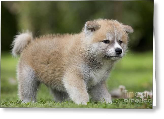 Japanese Puppy Greeting Cards - Akita Inu Puppy Dog Greeting Card by Jean-Michel Labat