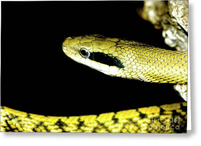 Whipsnake Greeting Cards - Alameda Whipsnake Greeting Card by Victor Habbick Visions