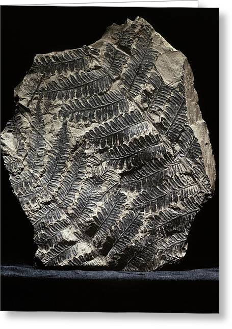 Alethopteris Seed Fern Fossil Greeting Card by Gilles Mermet