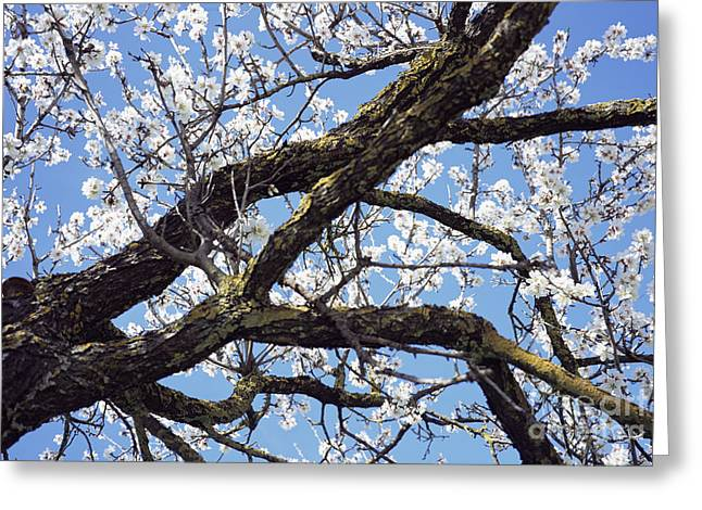 Pink Flower Branch Greeting Cards - Almond Blossom Greeting Card by Dirk Wiersma