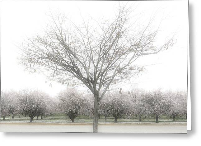 Orchard Greeting Cards - Almond Orchard Greeting Card by Carol Leigh