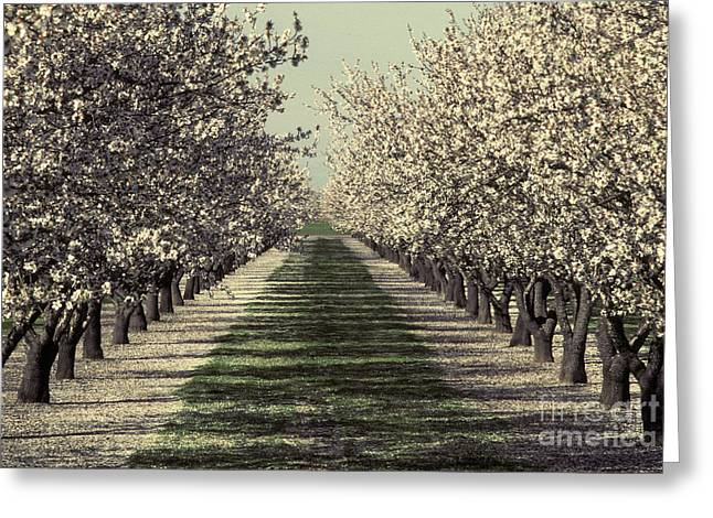 American Food Greeting Cards - Almond Orchard In Bloom Greeting Card by Ron Sanford