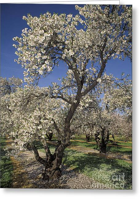 Californian Greeting Cards - Almond Trees Greeting Card by Ron Sanford