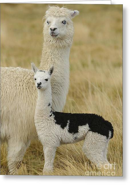 Alpacas Greeting Cards - Alpaca With Young Greeting Card by John Shaw