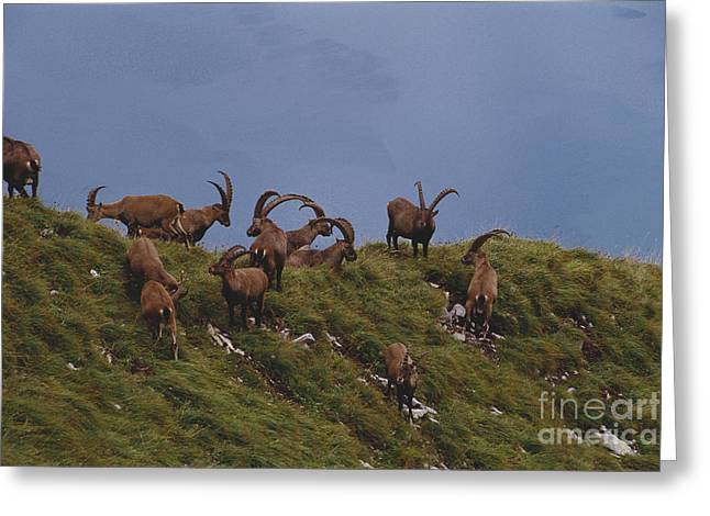 Edge Of The Cliff Greeting Cards - Alpine Ibex Standing On Cliff Greeting Card by Art Wolfe