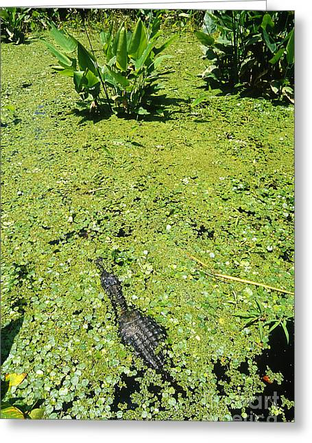 Florida Gators Greeting Cards - American Alligator Greeting Card by Gregory G. Dimijian, M.D.