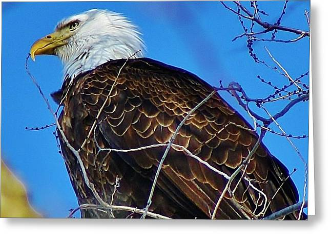 American Bald Eagle Greeting Card by Bruce Bley