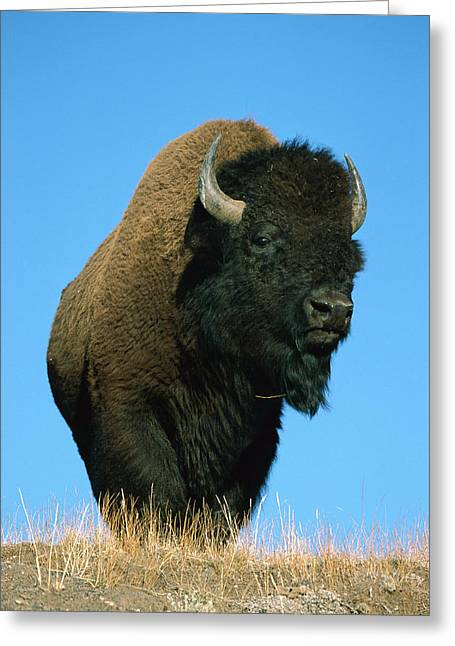 Close Up Buffalo Greeting Cards - American Bison Bull Greeting Card by Ingo Arndt