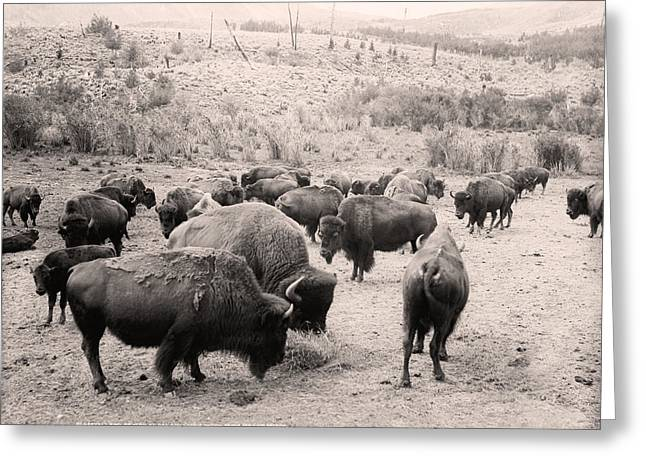 Engraving Greeting Cards - American Buffalo Greeting Card by Gary Grayson