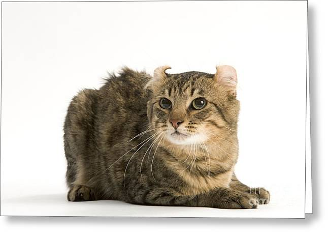 American Shorthair Greeting Cards - American Curl Cat Greeting Card by Jean-Michel Labat