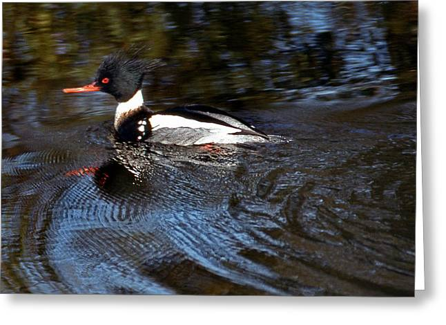 Photos Of Birds Greeting Cards - American Merganser Greeting Card by Skip Willits