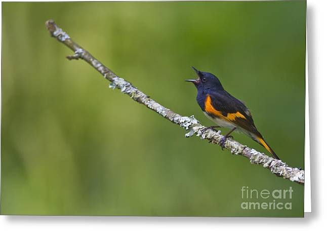 American Redstart Greeting Cards - American Redstart Greeting Card by James Mundy