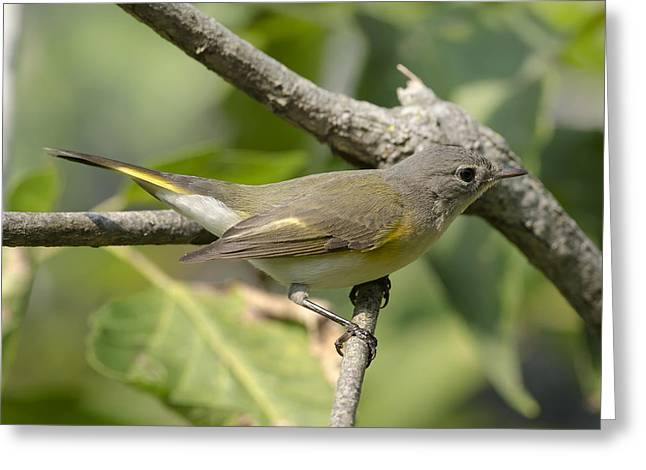 American Redstart Greeting Cards - American Redstart Greeting Card by Tim Rutz