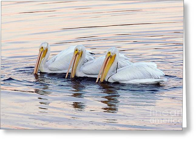 American White Pelican (pelecanus Erythrorhynchos) Greeting Cards - American White Pelicans Greeting Card by Bob Gibbons