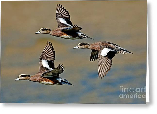 Aquatic Bird Greeting Cards - American Wigeon Drakes Greeting Card by Anthony Mercieca