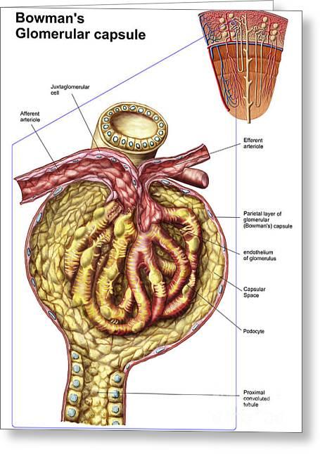 Capsule Greeting Cards - Anatomy Of Bowmans Glomerular Capsule Greeting Card by Stocktrek Images