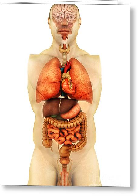 Respiratory Greeting Cards - Anatomy Of Human Body Showing Whole Greeting Card by Stocktrek Images