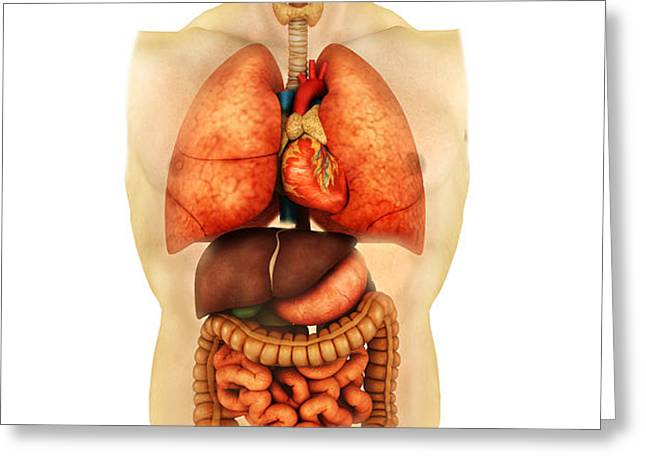 Anatomy Of Human Body Showing Whole Greeting Card by Stocktrek Images