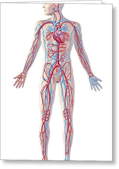 Digital Artery Greeting Cards - Anatomy Of Human Circulatory System Greeting Card by Leonello Calvetti
