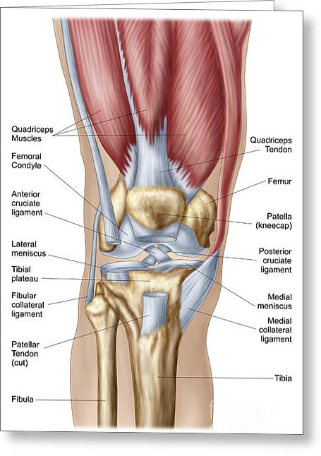 Human Body Parts Greeting Cards - Anatomy Of Human Knee Joint Greeting Card by Stocktrek Images