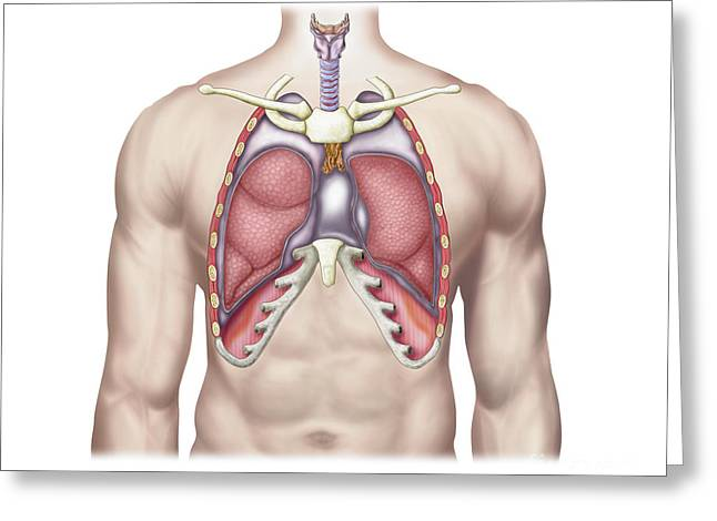 Respiratory Greeting Cards - Anatomy Of Human Lungs In Situ Greeting Card by Stocktrek Images