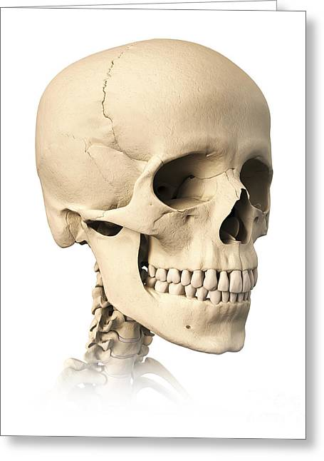 Zygomatic Bones Greeting Cards - Anatomy Of Human Skull, Side View Greeting Card by Leonello Calvetti