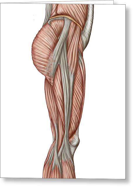 Inflammation Greeting Cards - Anatomy Of Human Thigh Muscles Greeting Card by Stocktrek Images