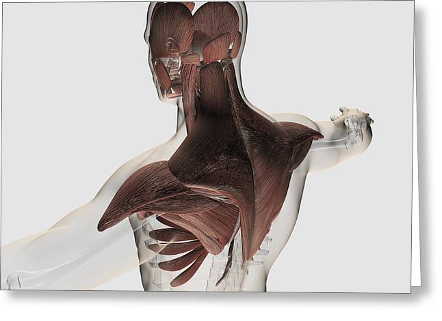 Human Arm Greeting Cards - Anatomy Of Male Muscles In Upper Body Greeting Card by Stocktrek Images