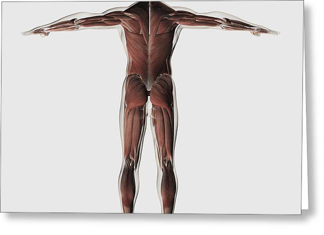 Human Arm Greeting Cards - Anatomy Of Male Muscular System Greeting Card by Stocktrek Images
