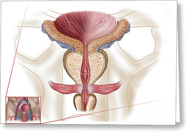 Biomedical Illustrations Greeting Cards - Anatomy Of Prostate Gland Greeting Card by Stocktrek Images