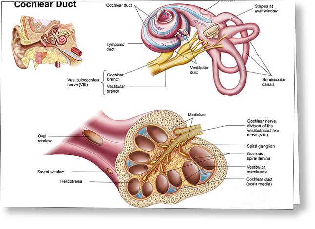 Magnification Greeting Cards - Anatomy Of The Cochlear Duct Greeting Card by Stocktrek Images